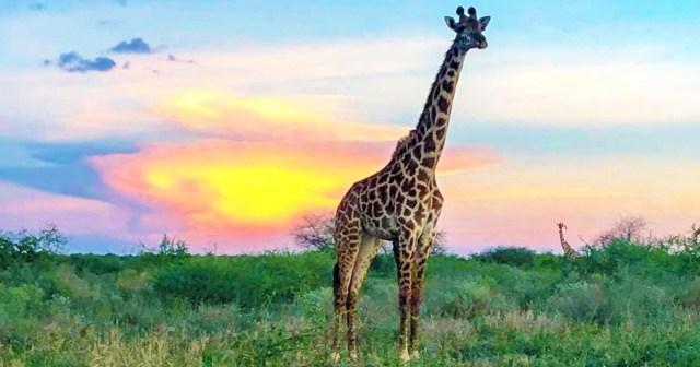 マサイ族が iPhoneで撮影した「そのへんにいた動物(野良ゾウ・野良ライオン・野良キリン、野良フラミンゴ)」の写真集 / マサイ通信:第439回