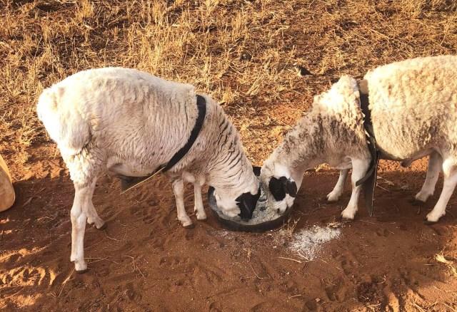 オレの羊がハイエナに襲われた! 痛恨の被害額は… / マサイ通信:第431回