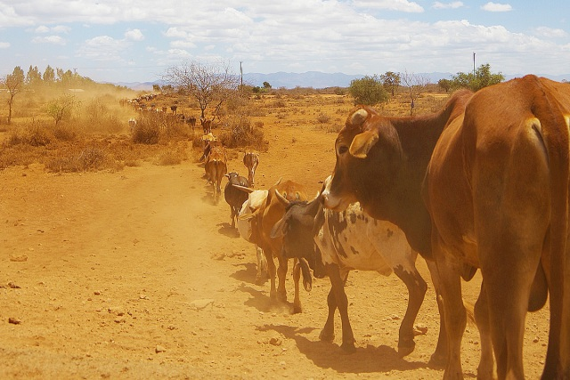 もしも飼っている牛がライオンに襲われたらオレたちはこう動く / マサイ通信:第454回