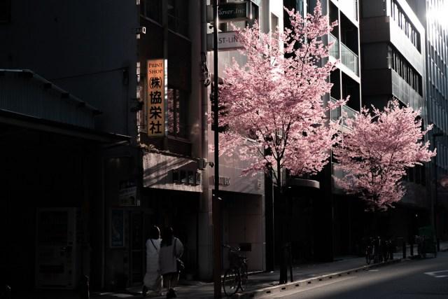 【記録更新】京都の桜が過去1200年で最も早く満開に / 記録にある限り最速