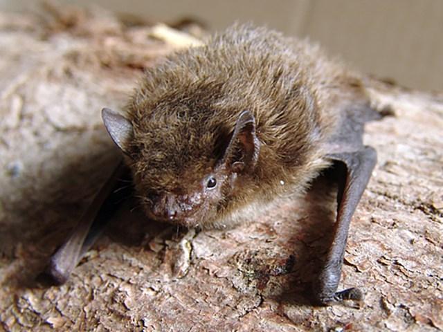 【悲報】史上2番目に長い距離を移動したイギリスのコウモリ、ロシアでネコにやられる