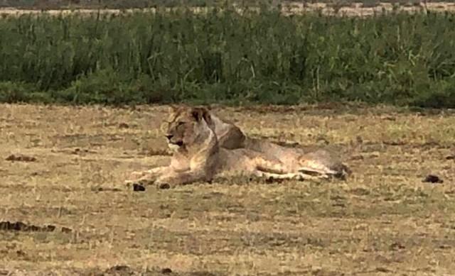 【ケニア】アンボセリ国立公園サファリツアーのガイド中にコッソリ撮影した動物写真集 / マサイ通信:第494回