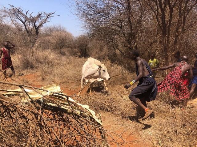 どんな時にマサイ族は牛を「一頭買い」して食べるのか? マサイ通信:第499回