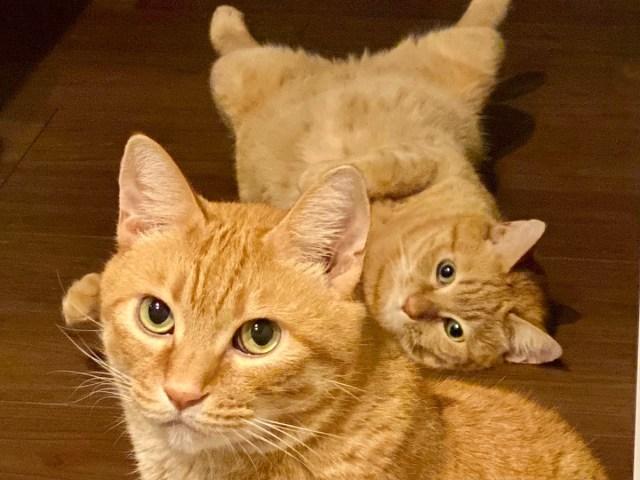 【そうじゃない】キャラが濃くなると話題の「猫語翻訳アプリ」を使ってみた! うちの猫の場合…