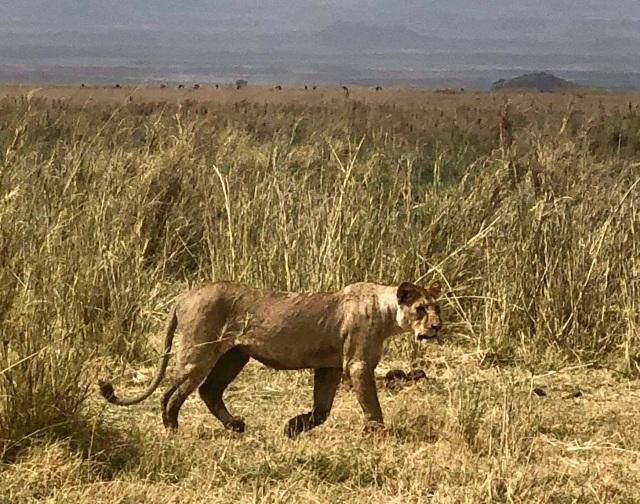 つい最近、日本人の観光客がケニアのアンボセリへ遊びに来たぞ〜。その時に撮った動物写真集 / マサイ通信:第502回